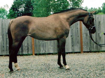Grulla/Zebra Horse For Sale at Shirefox Farm in Washington